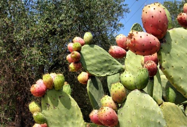 Kaktusfeige essen in fünf Schritten Kaktusfrucht Feigenkaktus Opuntie