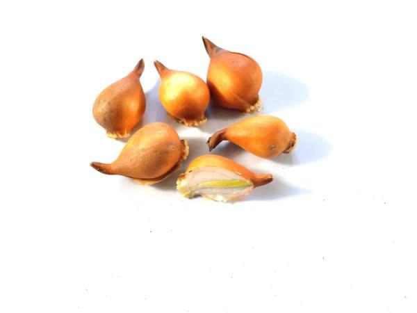 Kleine schöne Zwiebeln Tulpen pflanzen