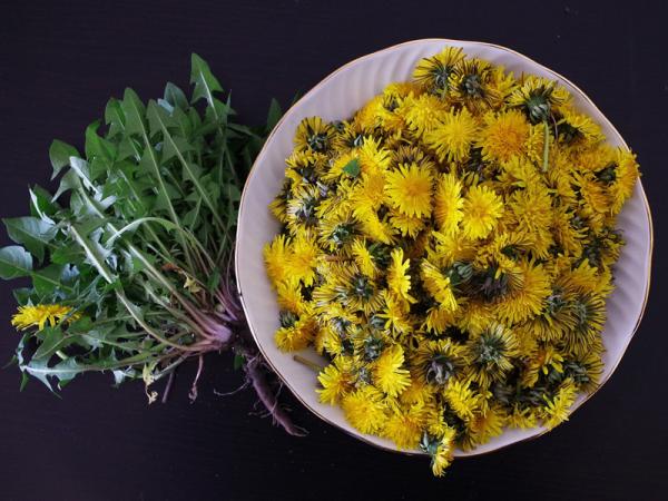 Kulinarische Löwenzahn Anwendung alle Pflanzenteile des Heilkrauts sind essbar