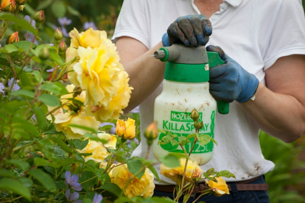 Läuse an Rosen Blattläuse bekämpfen Hausmittel