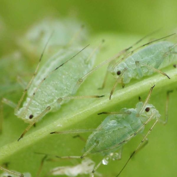 Läuse an Rosen Blattläuse bekämpfen Tipps