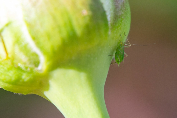 Läuse an Rosen bekämpfen Hausmittel Blattläuse