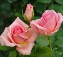 Läuse an Rosen? – Keine Panik! So können Sie Blattläuse natürlich bekämpfen