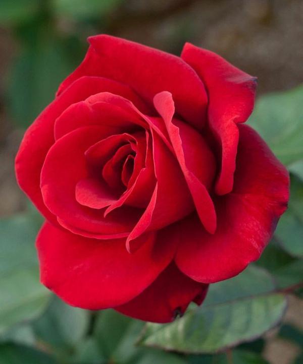Läuse an Rosen bekämpfen Hausmittel gegen Blattläuse Rose rot