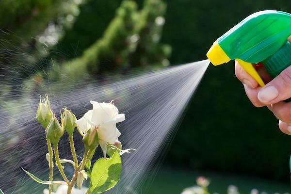 Läuse an Rosen besprühen Hausmittel Blattläuse