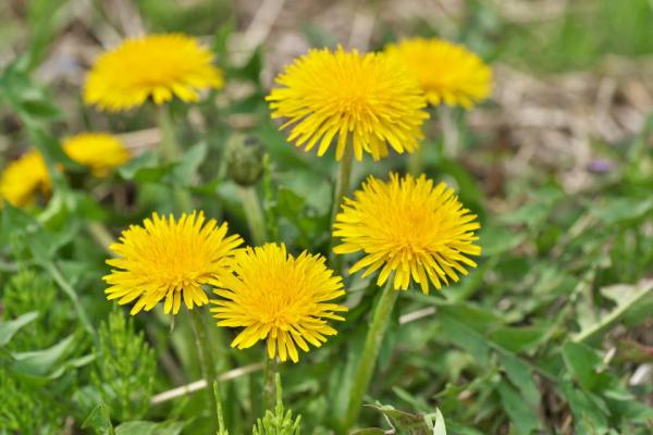 Löwenzahn beim Spaziergang sehen im Wald auf der Wiese gelbe Blüten kennzeichnendes Merkmal
