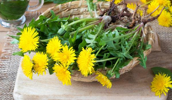 Löwenzahn gelbe Blüten Stängel grüne Blätter Wurzeln alle Pflanzenteile essbar