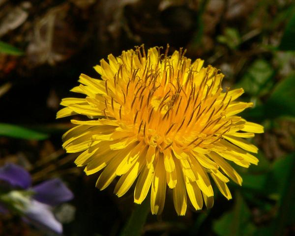 Löwenzahn gut geformte sonnengelbe Blütenblätter ein kennzeichnendes Merkmal der Heilpflanze