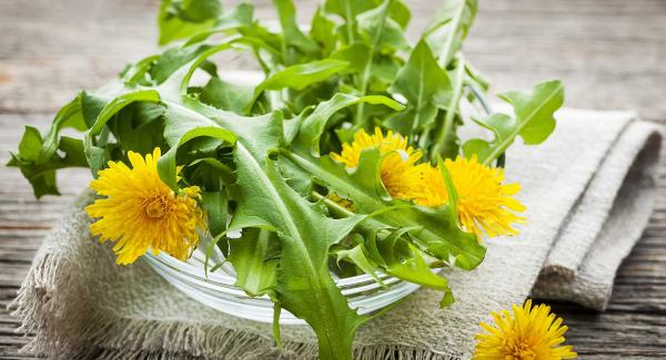 Löwenzahn typische Merkmale gelbe Blüten zackige grüne Blätter alle Pflanzenteile essbar