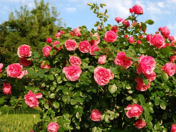 Mehltau an Rosen Hausmittel Rosenmehltau