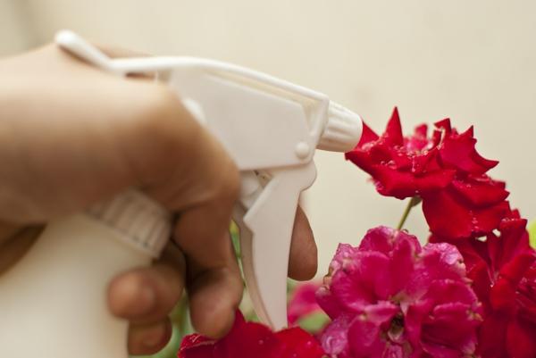 Mittel gegen Mehltau an Rosen Hausmittel Rosenmehltau bekämpfen
