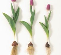 Tulpenzwiebeln pflanzen? So geht das schnell und effektiv!