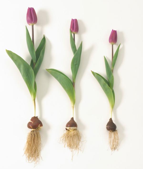 Moderne Gartengestaltung Tulpen pflanzen