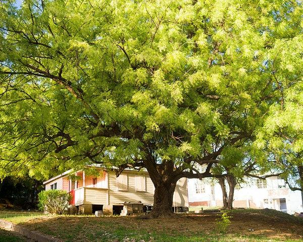 Neemöl Neembaum Baumkröne Blätter und Früchte Niemöl