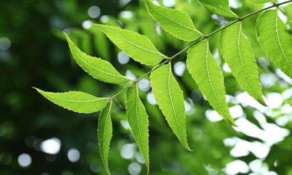 Neemöl Neembaum Blätter Zweige Indien