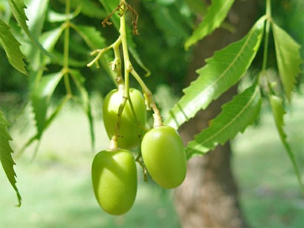 Neemöl Neembaum Blätter und Früchte
