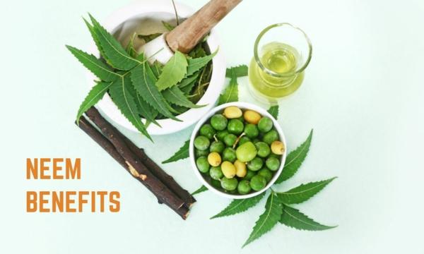 Neemöl gesundes Leben Niemöl Neembaum Blätter und Früchte