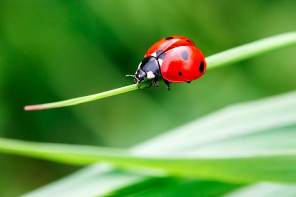 Spinnmilben bekämpfen Marienkäfer natürliche Mittel