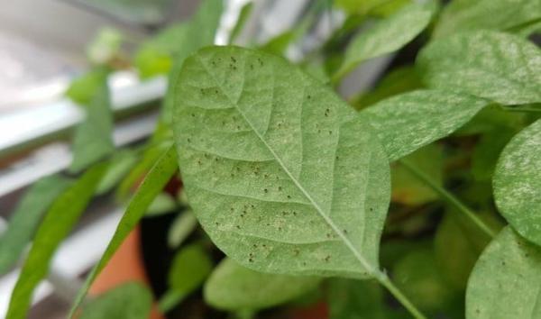 Spinnmilben bekämpfen Unterseite Blätter