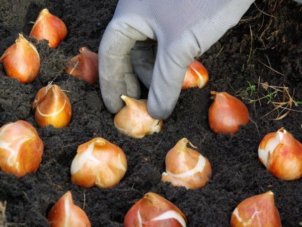 Tulpen pflanzen Gartengestaltung Gartenideen