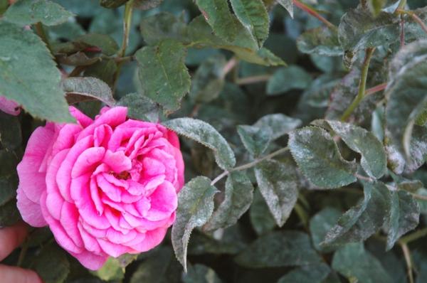 Was hilft bei Echter Mehltau an Rosen Hausmittel Rosenmehltau