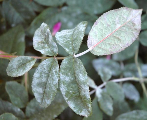 Was hilft bei Echter Mehltau an Rosen Mittel gegen Rosenmehltau