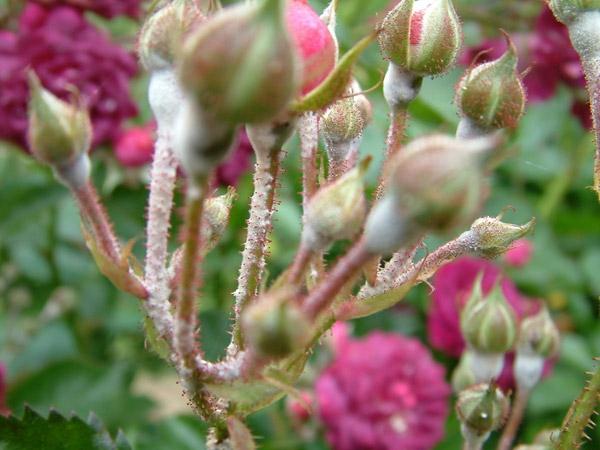 Was hilft bei Mehltau an Rosen Hausmittel Echter Rosenmehltau