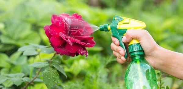 Was hilft bei Mehltau an Rosen Hausmittel Rosenmehltau