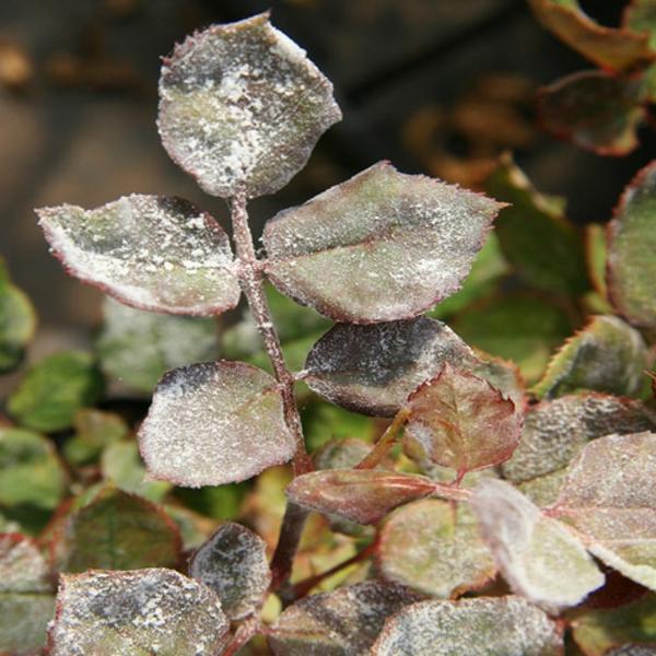 Was hilft bei Mehltau an Rosen Rosenmehltau