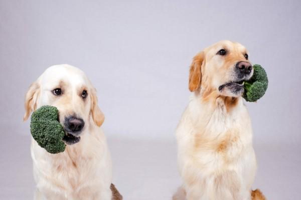 Brokkoli roh essen Wasser Nährstoffe Hunde