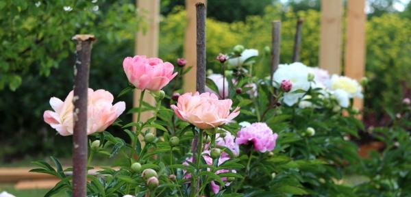 gartengestaltung tipps rosen düngen
