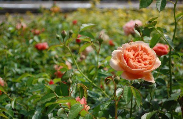 rosen auf der wiese rosen düngen