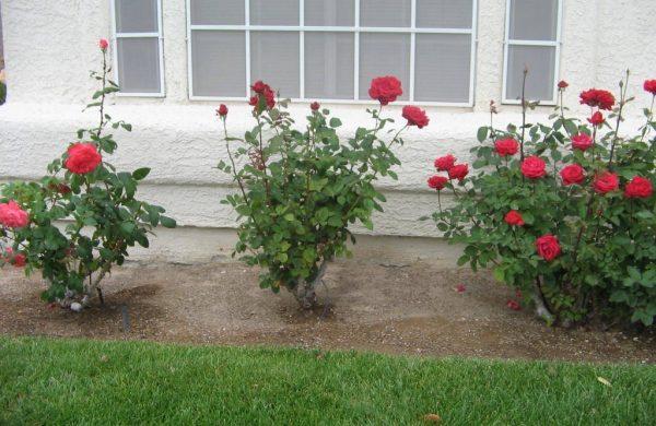 rosen düngen hof inneneinrichtung