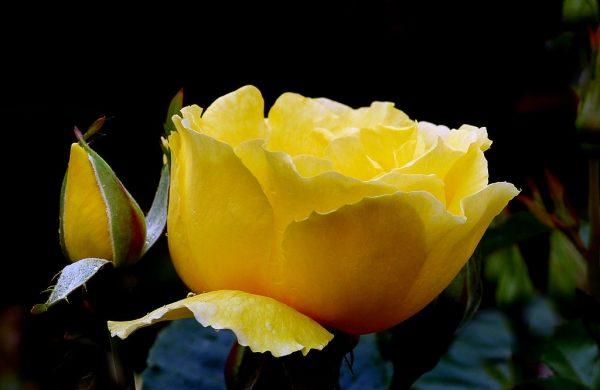 rosen düngen rosen pflegen rosen ideen