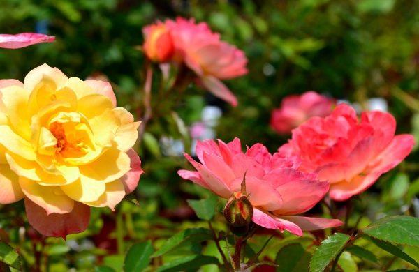 rosen düngen schöne blumen