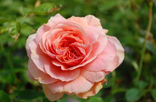 rosen düngen schöne rosen