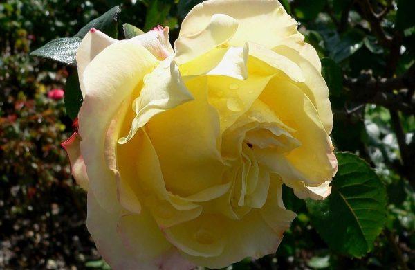 rosen garten ideen rosen düngen