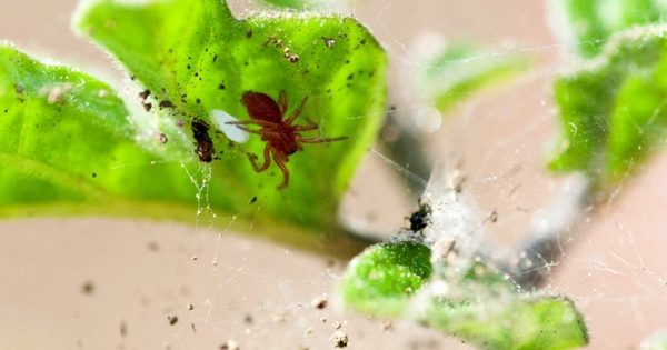 wie kann man Spinnmilben bekämpfen Tipps und Ideen