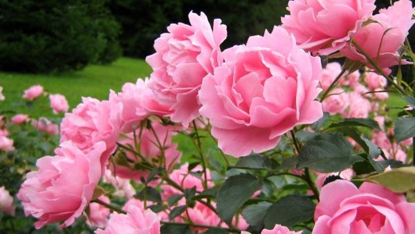 wiese mit rosen rosen düngen