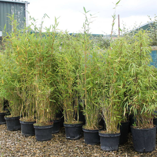 Bambushecke Tipps für den Garten
