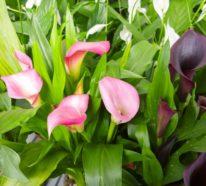 Die wunderschöne Calla Blume: Wie pflegt man die Zimmercalla richtig?