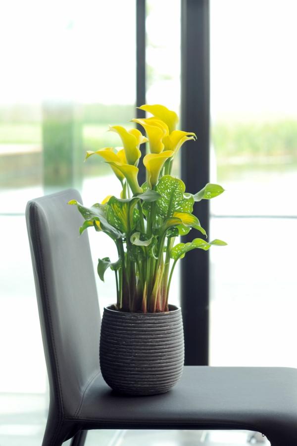 Calla Blume Zimmercalla Calla Pflanze im Topf