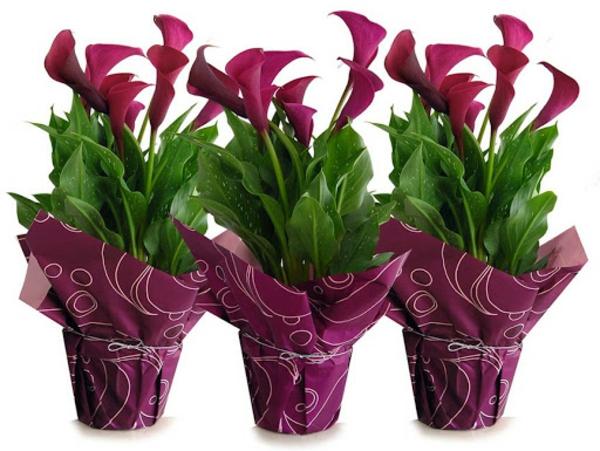 Calla Blume Zimmercalla Pflege Zimmerpflanzen