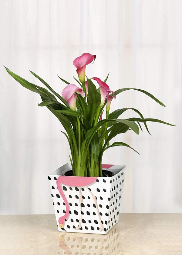 Calla Blume Zimmercalla Topfpflanze rosa Calla Blüten