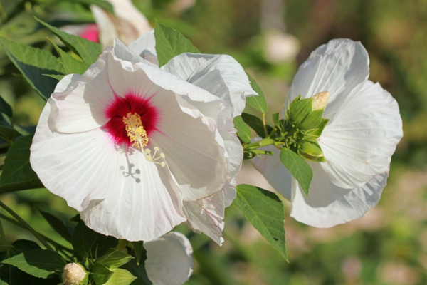 Hibiskus schneiden Gartenhibiskus Blüten Pflege
