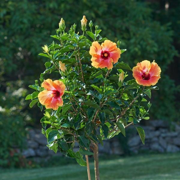 Hibiskus schneiden Gartenhibiskus Pflege