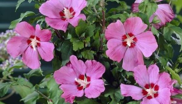 Hibiskus schneiden Gartenhibiskus schneiden Tipps