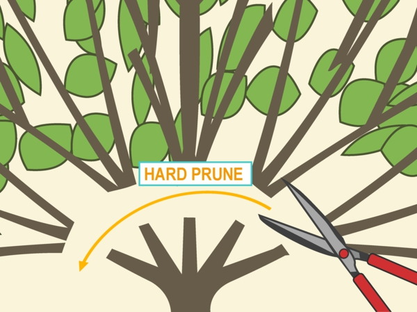 Hibiskus schneiden Gartenhibiskus schneiden starker Schnittt