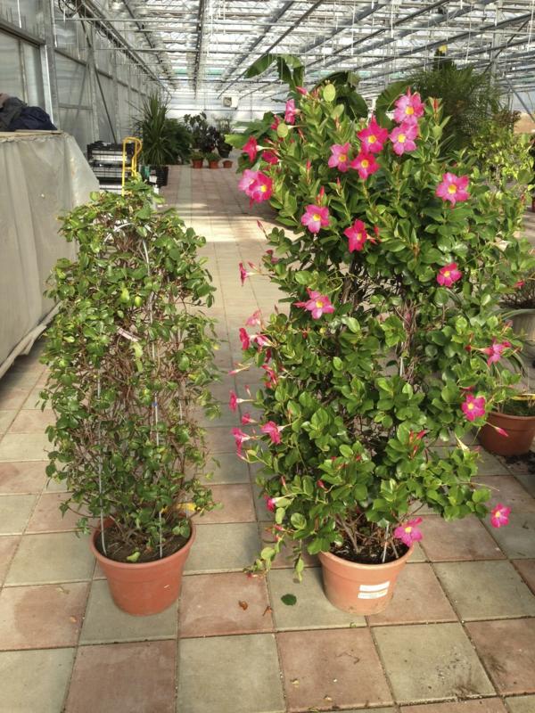 Hibiskus schneiden blühende Zimmerpflanzen