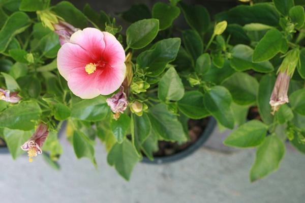 Hibiskus schneiden wann Gartenhibiskus Pflege